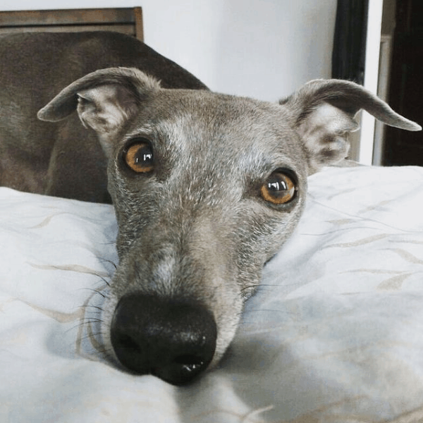 Montgomery The Whippet, one of the Penwyth House whippets