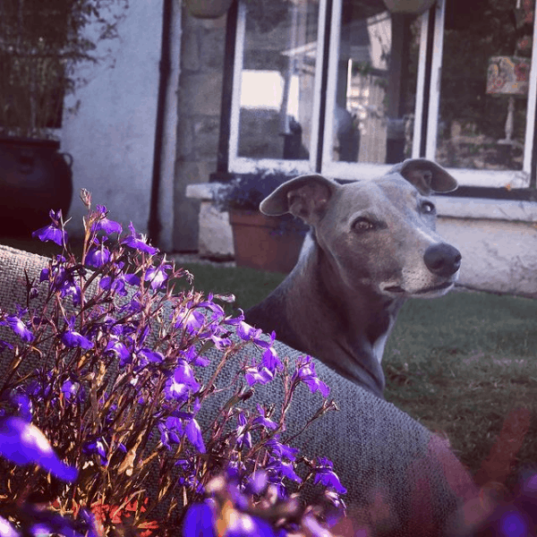 Nelson The Whippet, one of the Penwyth House whippets